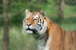 Tiger tiger . . .
