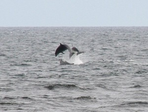 Dolphins in Spey Bay